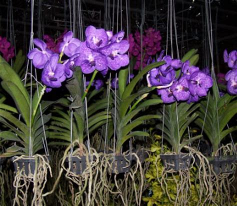 Pot Gantung Untuk Anggrek 70 jenis tanaman hias gantung untuk mempercantik rumah