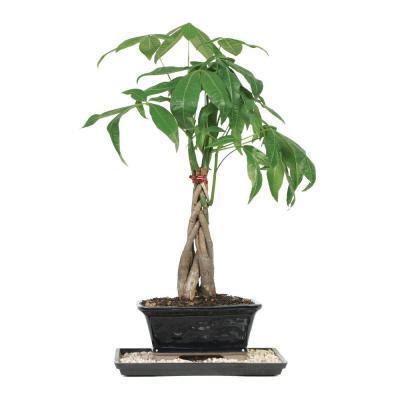 brussels bonsai braided money tree indoor dt mt