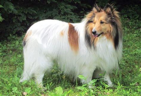 sheltie colors shetland sheepdog coloring shetland sheepdog