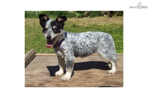 mini australian cattle puppies for sale cattle blue heeler puppies for sale puppy breeders jobspapa c pets world