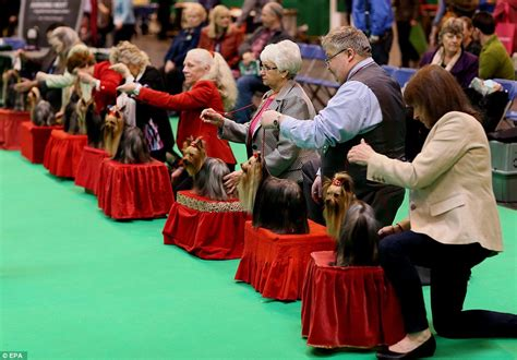 world s largest yorkie crufts show 2016 entrants arrive in style at the 125th show in birmingham daily