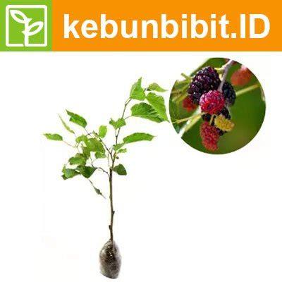 Black Sapote Jumbo 60cm Berkualitas jual kebun bibit tanaman murbei 30cm murah