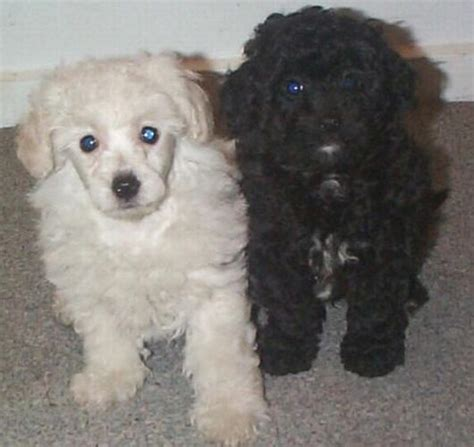 maltese poodle puppies pictures of maltese poodle puppies