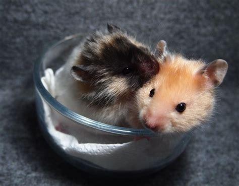 syrian hamster black tortoiseshell satin longhaired