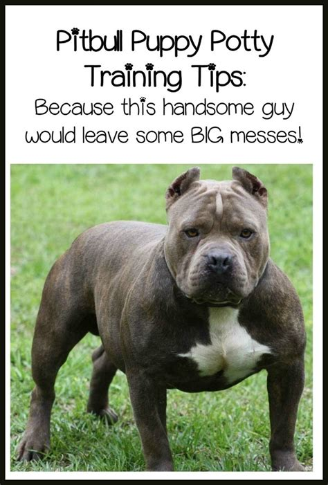 pitbull puppy tips pitbull puppy tips and easy potty dogvills