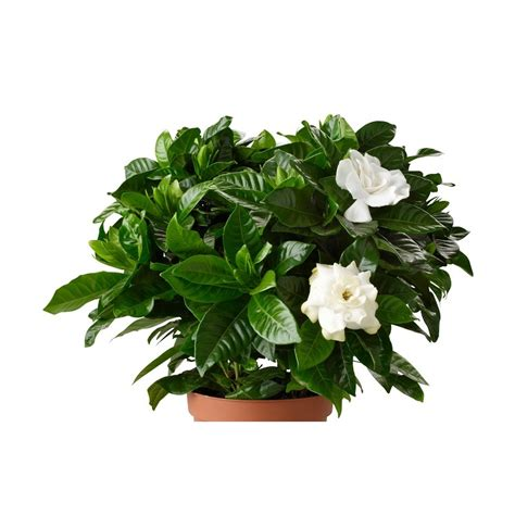 high c gardenias gardenia flower delivery 28 images gardenia flower