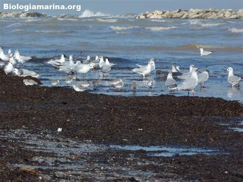 gabbiano comune gabbiano comune 29 biologia marina mediterraneo