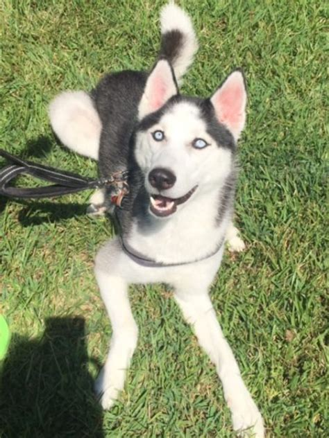 adoption raleigh sweet purebred siberian husky 2 for adoption near raleigh nc adopt aries today