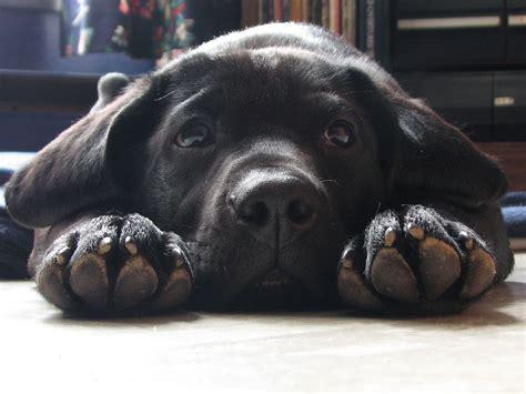 black lab puppies michigan 191 padece mi mascota de patas adoloridas black labs labs and cuddling
