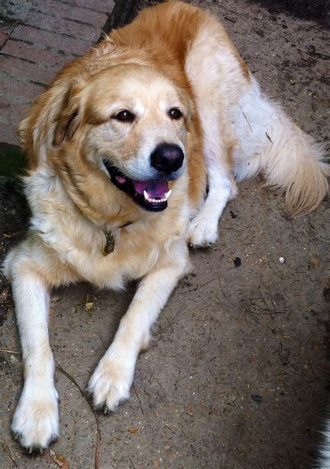 great pyrenees golden retriever mix puppies pin golden retriever great pyrenees mix puppies on