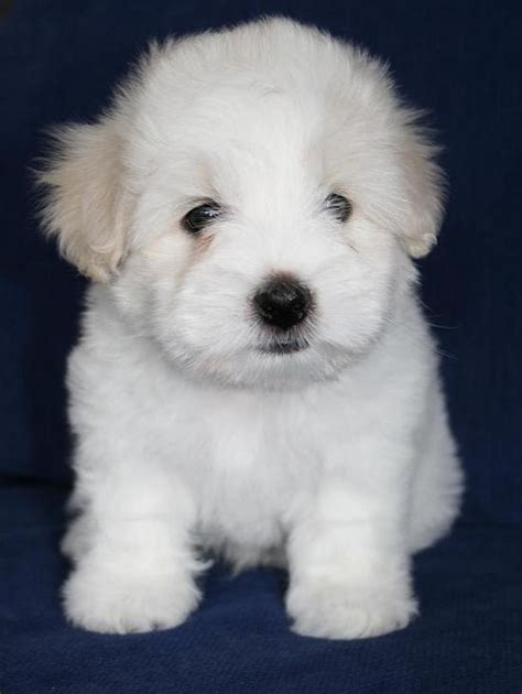 difference between coton de tulear and havanese de 25 bedste id 233 er til coton de tulear p 229