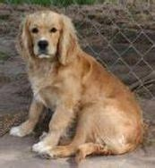 golden cocker retriever grown size cypress utley on