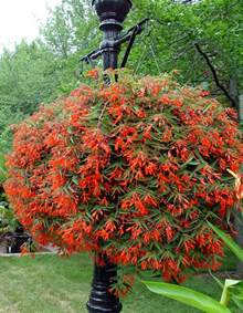 Garden Begonia Begonia Bonfire Garden Housecalls
