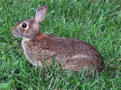 Bedak Kelinci Rabbit Talcum Powder rabbits how to identify and get rid of rabbits garden