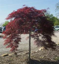 japanese maple varieties information
