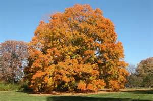 applewood sugar maple in fall michigan gardener