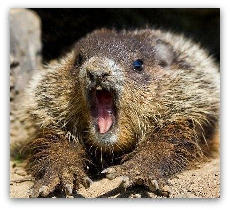 groundhog day quora which can bite more severely a or a groundhog
