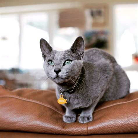 blue kittens for sale 50 purebred russian blue kittens for sale