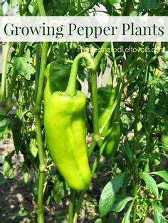 four hardest vegetables to grow from seed buy transplants sedum spurium fuldaglut plant pink garden pinterest