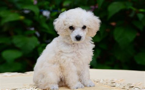 mini poodle puppies miniature poodle puppies www pixshark images galleries with a bite
