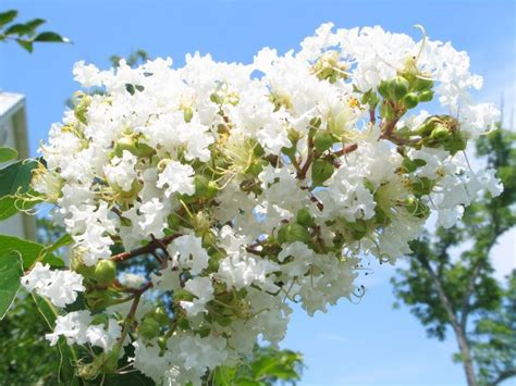 natchez crepe myrtle 2 3 ft white flowering tree with