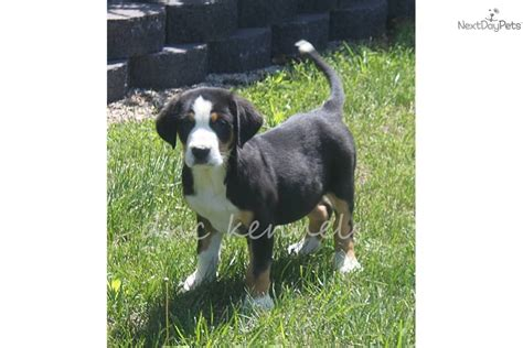 greater swiss mountain price greater swiss mountain puppy for sale near springfield missouri 63597478 0091