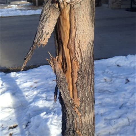 peeling bark on maple ask an expert