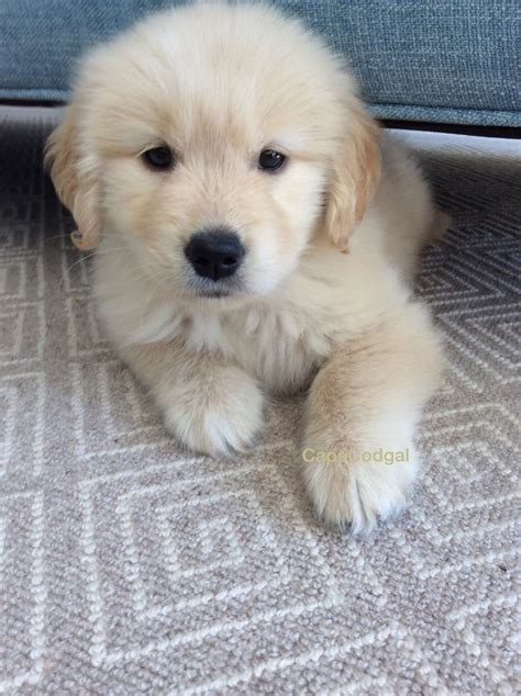 toronto golden retriever breeders 1000 ideas about golden retriever names on golden retriever puppies
