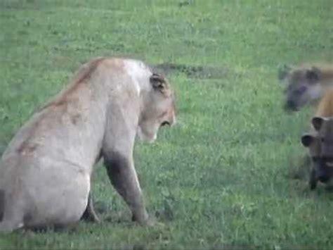 film lion vs hyena tanzania safari vidoemo emotional video unity