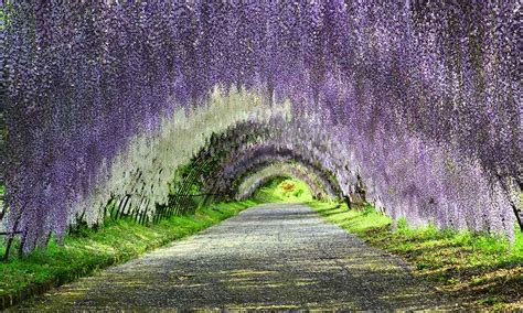 wisteria flower tunnel a trip to a fantastical world full of wisteria flowers