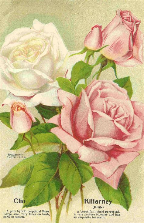 Free Flower Garden Catalogs Antique Images Free Flower Clip Pink And White Roses