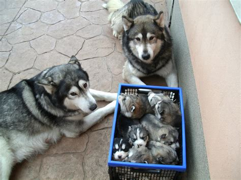 adorable husky puppies husky family their puppy crate