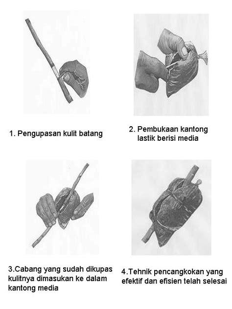 Pupuk Perangsang Bunga Jambu Air cara mencangkok tanaman buah mangga iindahh s