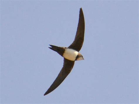 Cd Suara Walet Koloni Dalam modifikasi suara burung walet alpine untuk menghasilkan suara peluit ngetril panjang klub burung