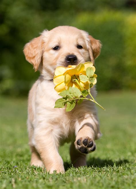 how to keep a golden puppy away from the xmas tree pictures of golden retrievers golden retriever photo gallery