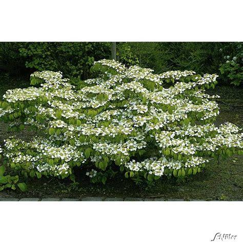 Schneeball Garten by Japanischer Schneeball Watanabe Kaufen Garten Schl 252 Ter