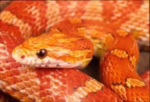 info junction blog corn snake