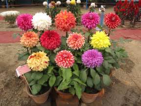 useful tips to grow dahlias