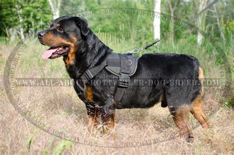 harness for rottweiler get rottweiler pulling harness chest plate walks