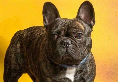 alimentazione bulldog francese bulldog francese carattere e prezzo idee green