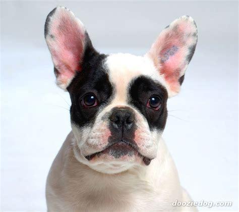 bulldog puppies ta bulldog franc 233 s razas perros molosoides mascotas