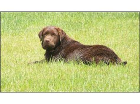 chocolate lab puppies for sale in raleigh nc labrador retriever puppies in ohio