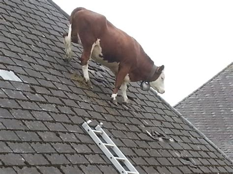 on the roof weird animal news cow on roof and lama on rail tracks in