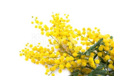 fiore mimosa immagini fiore di mimosa fotografie stock freeimages