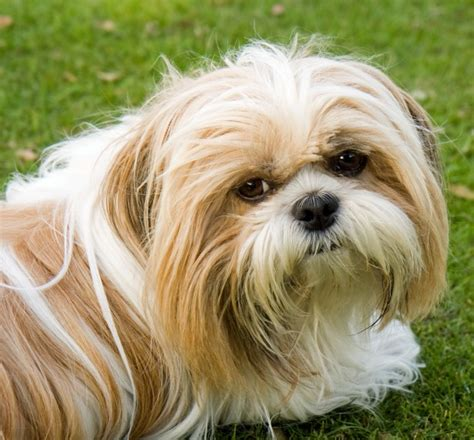 shih tzu problems shih tzu eye problems