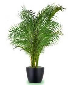 Indoor Palm by Gallery For Gt Chrysalidocarpus Lutescens Indoor