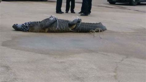gator captured outside sugar land shopping