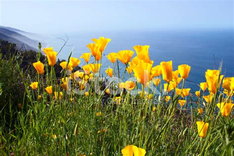 Yellow Ca Lookup Yellow California Poppy Photograph Stock Photos Freeimages