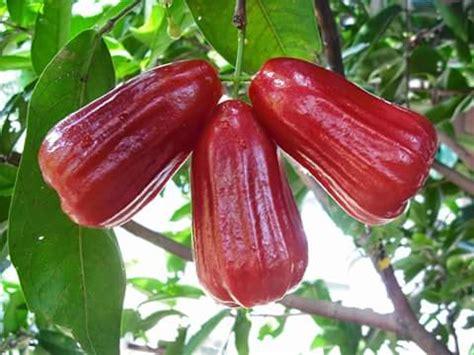 Jual Bibit Jambu Air Thongsamsi how much do you about the otaheite apple jamaican
