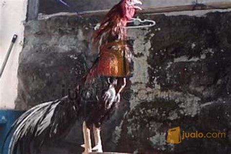 Jual Anakan Ayam Bangkok F1 Jogja jual ayam bangkok f1 harga kompromi purwodadi jualo